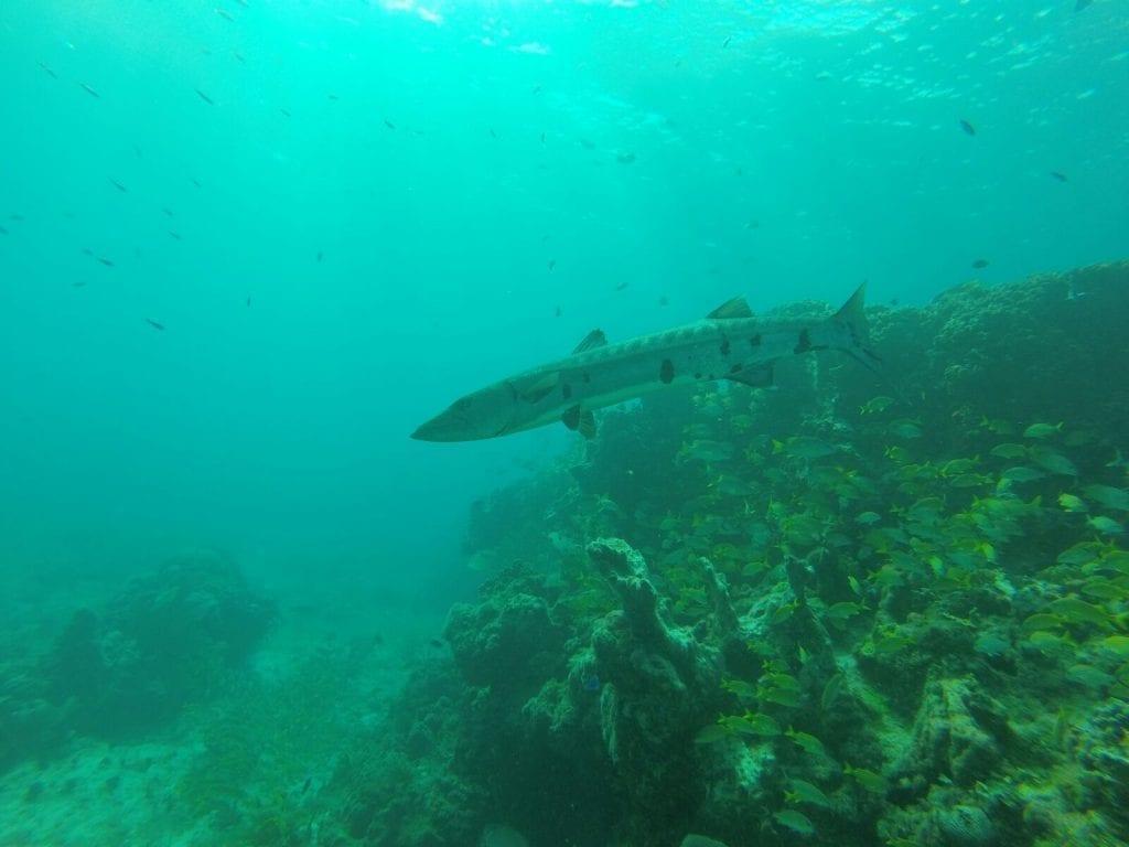 Una barracuda en el arrecife de Cancún