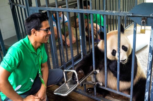 alimentando osos panda