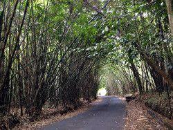 bosque bambu Bali con guia turistico