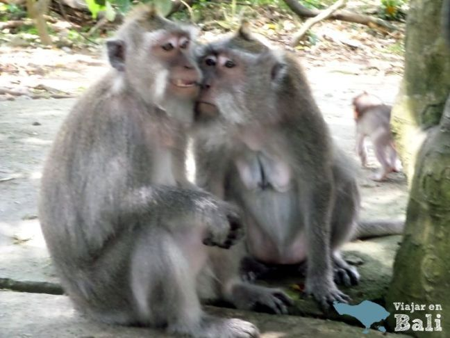 monos del monkey forest