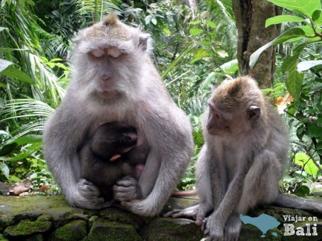monos de ubud agresivos