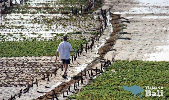 que hacer en nusa lembongan - cultivo algas