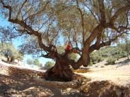 Olivos milenarios en Alcanar