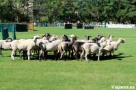 El grupo de ovejas rebeldes y descaradas