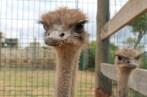 Una pareja de avestruces muy curiosas