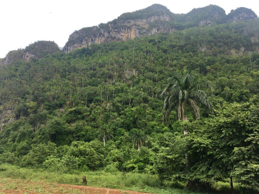 El paisaje del Valle de Viñales con los mogotes de fondo
