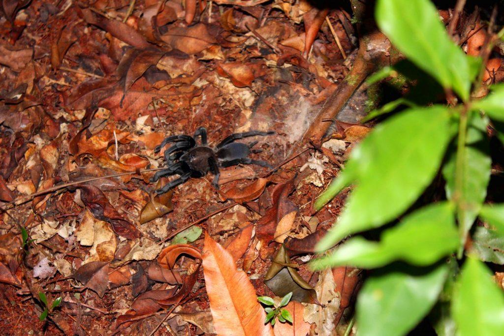 Una tarántula durante el trekking nocturno