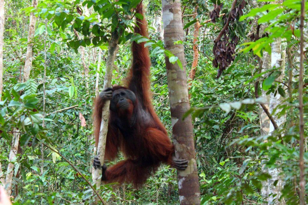 Orangután fuera de los comederos