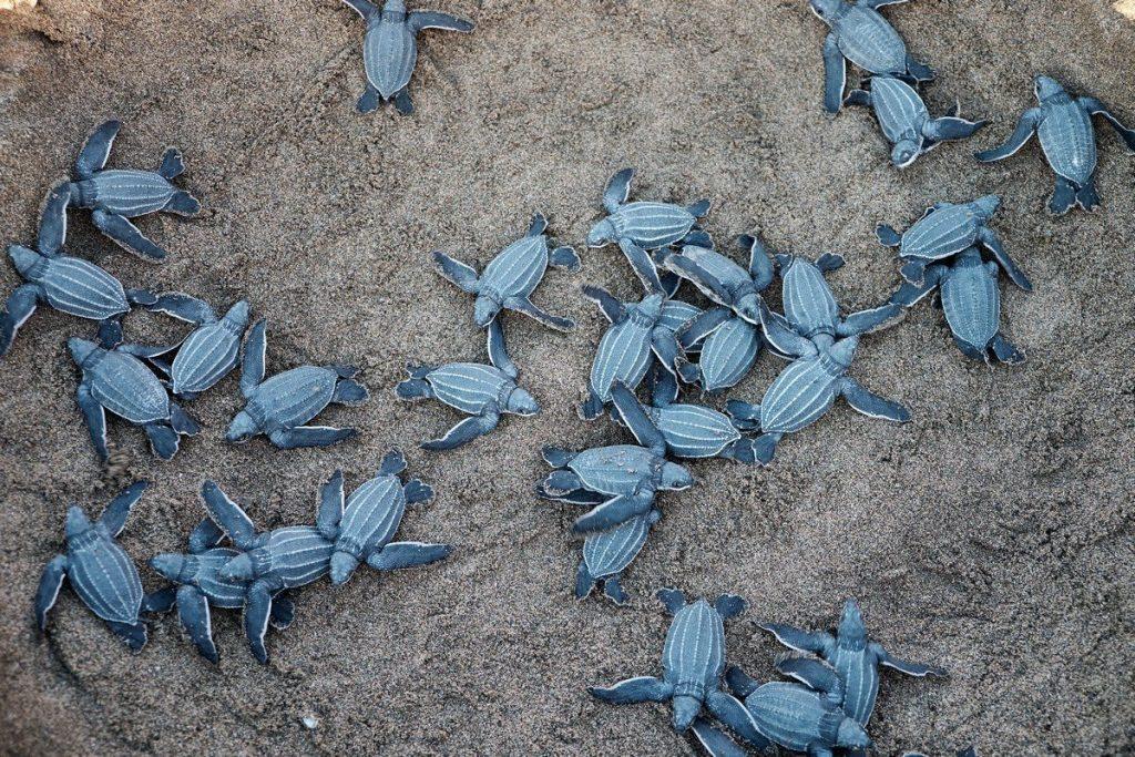 Liberación de tortugas marinas en la playa de Kuta