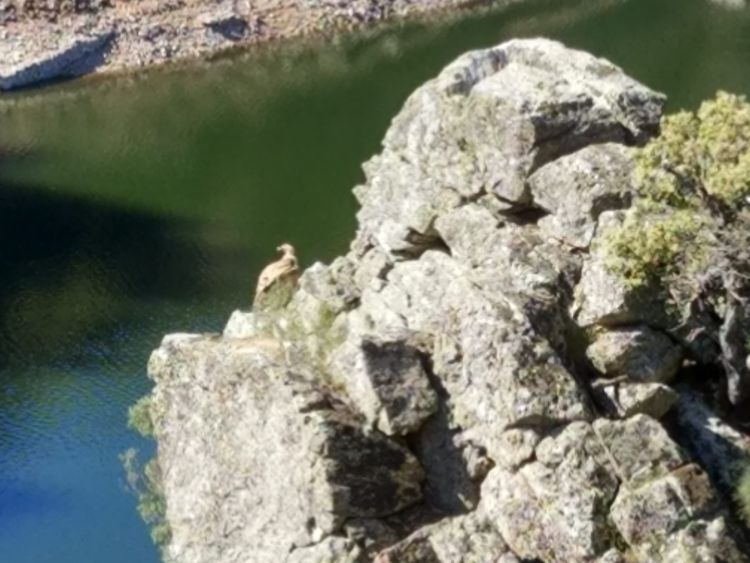 Buitre en el parque nacional de Monfragüe