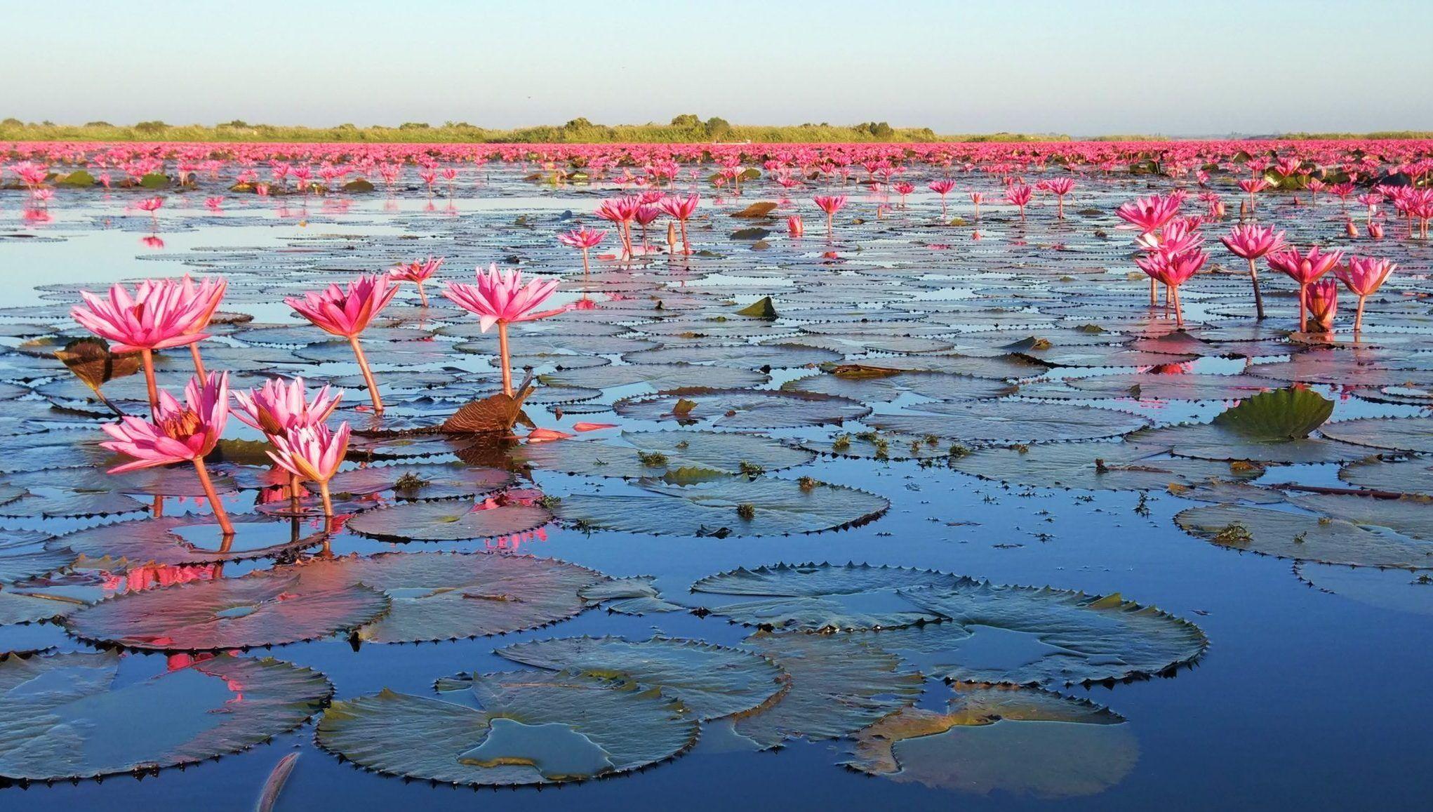 Portada Lago Lotos Rojos