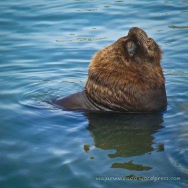 Lobo de mar descansando