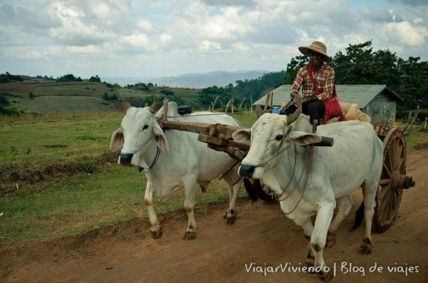 bufalos en Myanmar