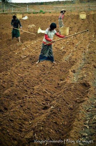 trabajo en el campo en Myanmar