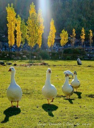 8 - gansos pincheira