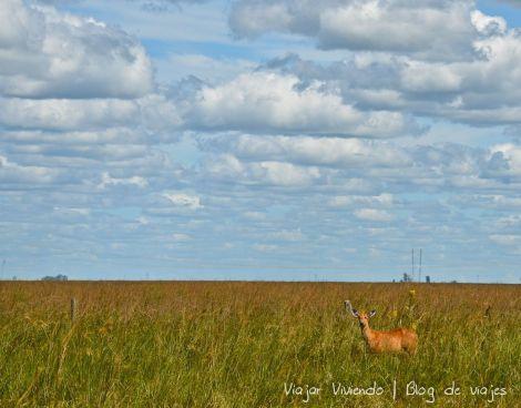 camino ibera ciervo