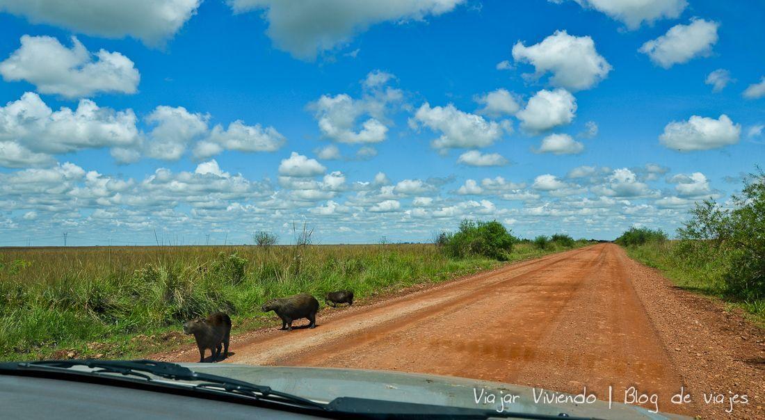 carpinchos en el camino a Iberá