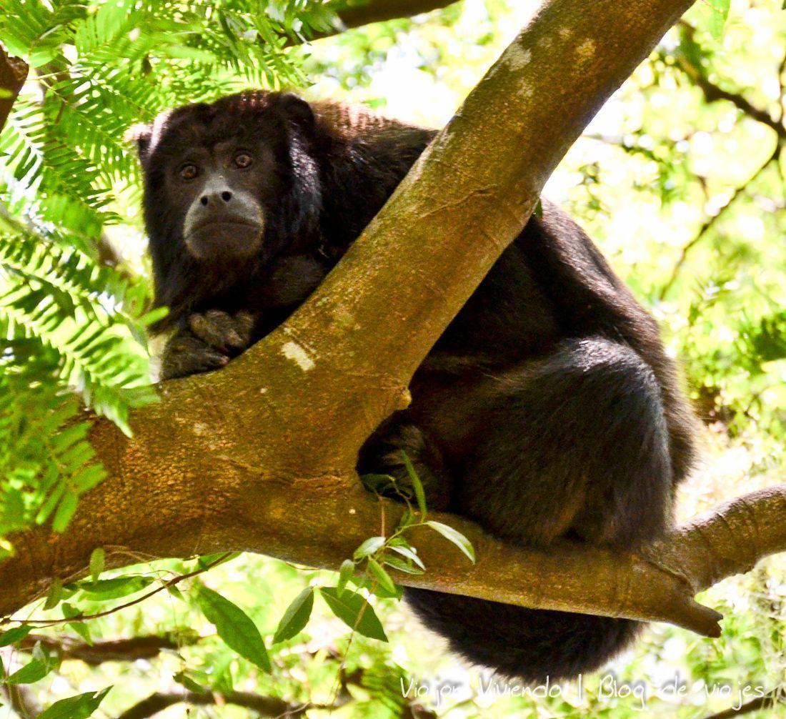 Monos caraya en los  Esteros del Iberá