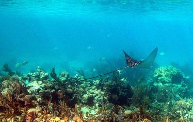 Una raya en el arrecife de Belice