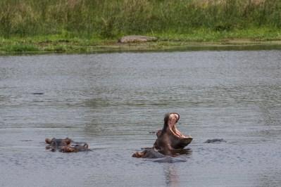 Hipopótamos en el humedal de iSimangaliso, cerca de Santa Lucía