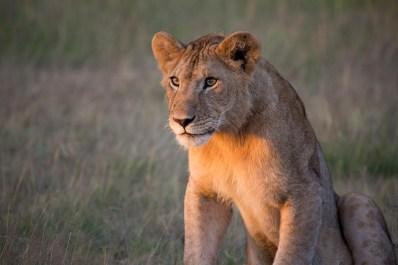 Una leona mira atentamente en Serengueti