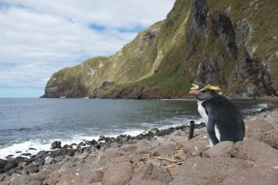 Un pingüino saltarrocas norteño en una playa de Inaccesible
