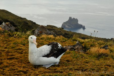 Un albatros errante en la isla de Gough