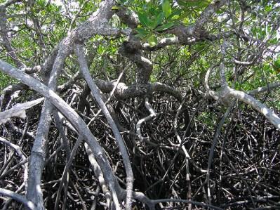 Manglar de la isla de Hinchinbrook, en Queensland