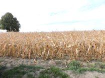 Hace tiempo no llovia, cerca de Salzburgo y el maíz estaba muy seco.