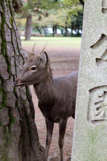 Ciervos Nara Japón