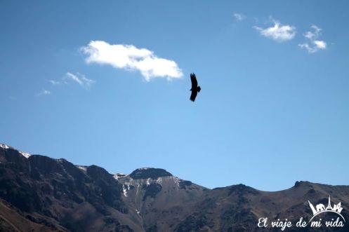 Cóndor en Cruz del Condor, Perú