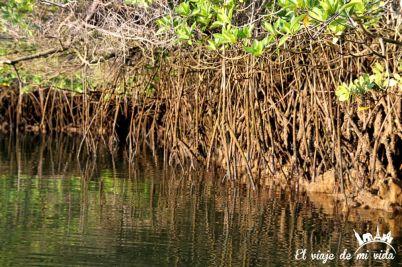 Los manglares de Black Cove Turtle en Galápagos