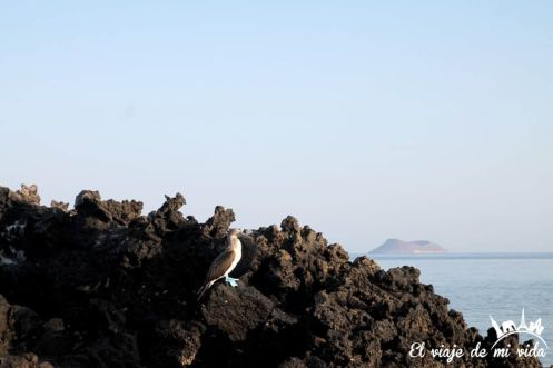 El piquero de patas azules pescando