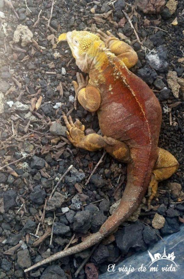 La iguana híbrida en Galápagos