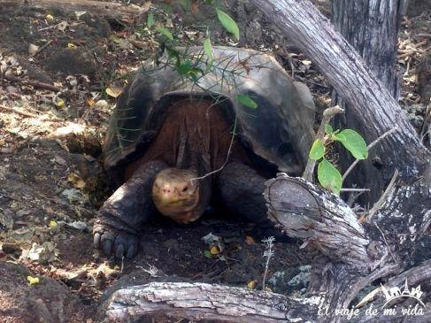 Tortuga de Galápagos
