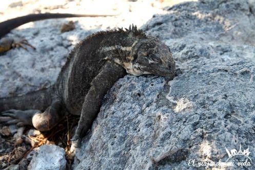 Iguana marina en Galápagos