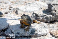Iguana terrestre en Galápagos