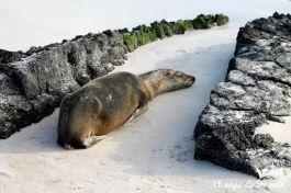 Los leones marinos de siestecilla