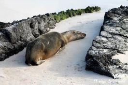 Los leones marinos en Galápagos