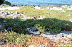 Pichón de gaviota en Galápagos
