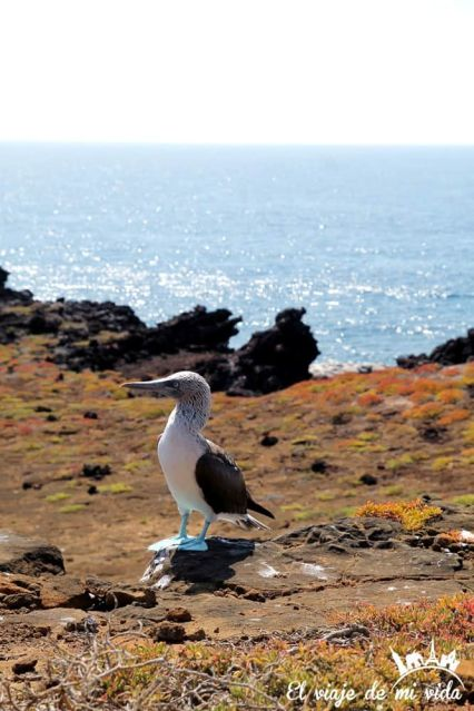 El piquero de patas azules en Galápagos