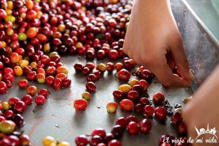 Selección de los granos de café colombiano
