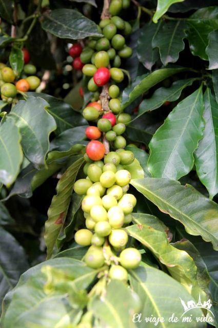 Granos de café rojitos