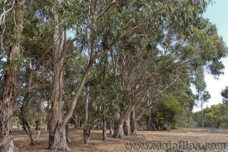 Viajefilos en Australia. Kangaroo 17
