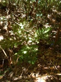 Samambaia Açu, espécie endêmica da Chapada do Araripe
