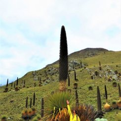Plantas Puya Ramondi no Peru