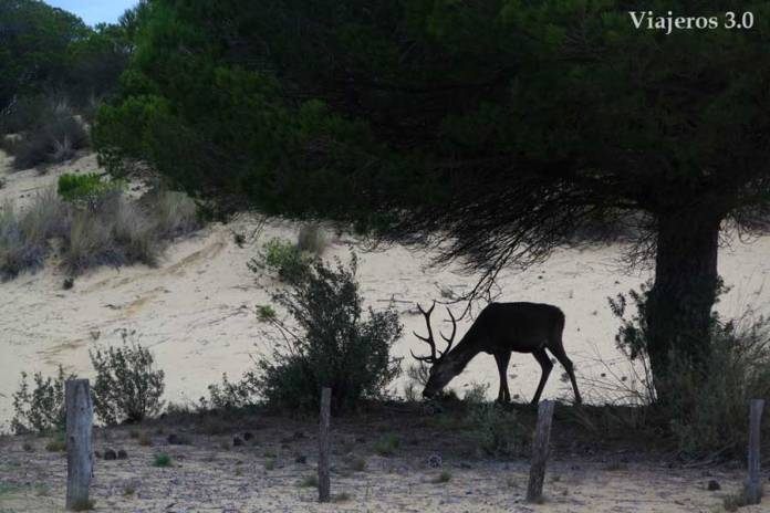 ciervo en los bosques mediterráneos de Doñana