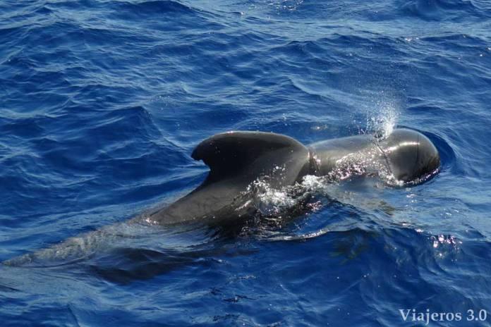 ballena piloto en Tenerife