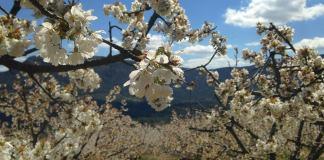 plantaciones de cerezos en flor, ruta por el Valle de las Caderechas