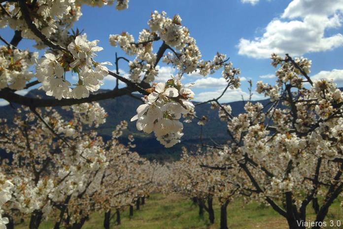 plantaciones de cerezos en flor, ruta por el Valle de Caderechas